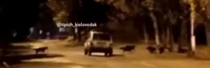 Кисловодск: свора бездомных собак набросилась на легковушку «Ниву»